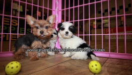 Perfect Morkie Puppies for sale Atlanta Georgia