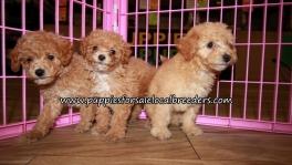 Perfect Bichon Poo Puppies for sale Atlanta Georgia