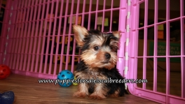Perfect Yorkie Puppies for sale Atlanta Georgia