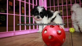 Perfect Teddy Bear Puppies for sale Atlanta Georgia