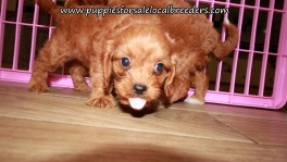 Perfect Cavapoo Puppies for sale Atlanta Georgia