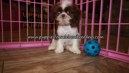 Precious Shih Tzu Puppies for sale Atlanta Georgia