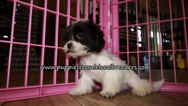 Precious Malti Tzu Puppies for sale Atlanta Georgia