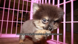 Precious Pomeranian Puppies for sale Atlanta Georgia
