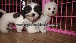 Precious Teddy bear Puppies for sale Atlanta Georgia