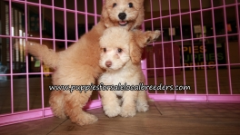 Precious Bichon Poo Puppies for sale Atlanta Georgia