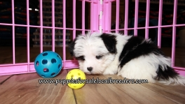 Precious Morkie Puppies for sale Atlanta Georgia