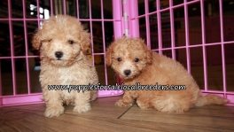 Precious Maltipoo Puppies for sale Atlanta Georgia