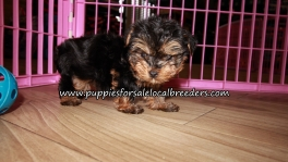 Precious Yorkie Puppies for sale Atlanta Georgia