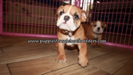 Precious English Bulldog Puppies for sale Atlanta Georgia