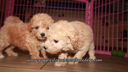 Cute Bichon Poo Puppies for sale Atlanta Georgia