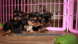 Pretty Yorkie Puppies for sale Atlanta Georgia