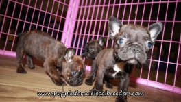 Pretty Frenchton Puppies for sale Atlanta Georgia