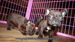 Pretty Frenchton Puppies for sale Atlanta Georgia