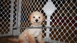 Adorable Bichon Poo Puppies for sale Atlanta Georgia