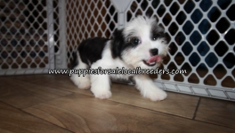 Adorable Morkie Puppies for sale Atlanta Georgia