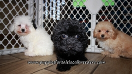 Adorable Poodle Puppies for sale Atlanta Georgia