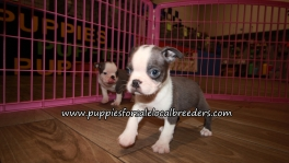 Cute Boston Terrier Puppies for sale Atlanta Georgia