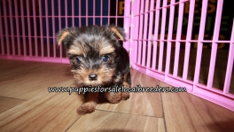 Cute Yorkie Puppies for sale Atlanta Georgia