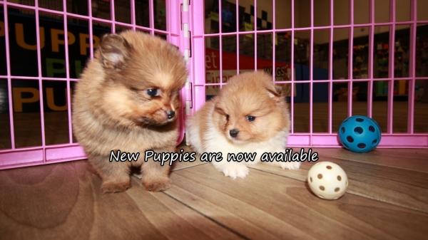 Cute Pomeranian Puppies for sale Atlanta Georgia at ...