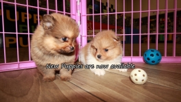 Cute Pomeranian Puppies for sale Atlanta Georgia
