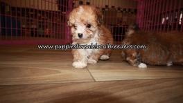 Cute Yorkie Poo Puppies for sale Atlanta Georgia