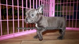 Cute French Bulldog Puppies for sale Atlanta Georgia