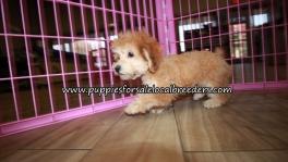 Cute Poodle Puppies for sale Atlanta Georgia