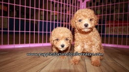Cute Red Poodle Puppies for sale Atlanta Georgia
