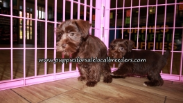 Chocolate Mini Schnauzer Puppies for sale Atlanta Georgia