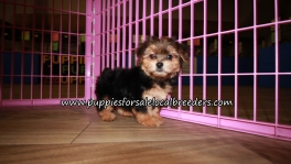 Cute Yorkipoo Puppies for sale Atlanta Georgia
