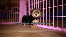 Cute Yorkipoo Puppies for sale Atlanta Georgia