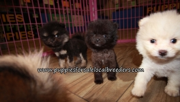 Little Pomeranian Puppies for sale Atlanta Georgia