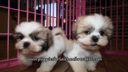 Lovely Shih Tzu Puppies for sale Atlanta Georgia