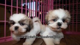Lovely Shih Tzu Puppies for sale Atlanta Georgia