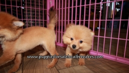 Lovely Pomeranian Puppies for sale Atlanta Georgia