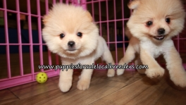 Gorgeous  Pomeranian Puppies for sale Atlanta Georgia