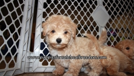 Gorgeous Bichon Poo Puppies for sale Atlanta Georgia