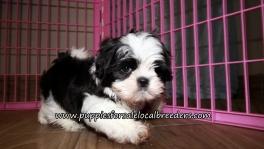 Perfect Shih Tzu Puppies for sale Atlanta Georgia