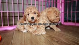 Perfect Poodle Puppies for sale Atlanta Georgia