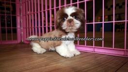 Nice Shih Tzu Puppies for sale Atlanta Georgia