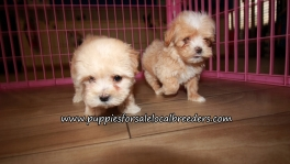 Nice Maltipoo Puppies for sale Atlanta Georgia