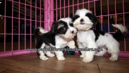 Nice Morkie Puppies for sale Atlanta Georgia