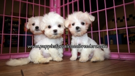 Nice Malti Tzu Puppies for sale Atlanta Georgia