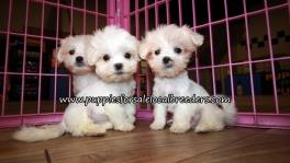 Nice Malti Tzu Puppies for sale Atlanta Georgia