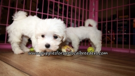 Nice Maltese Puppies for sale Atlanta Georgia