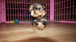 Nice Yorkie Puppies for sale Atlanta Georgia