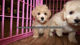 Nice Bichon Poo Puppies for sale Atlanta Georgia