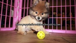 Nice Pomeranian Puppies for sale Atlanta Georgia