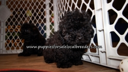 Super Cute Poodle Puppies for sale Atlanta Georgia